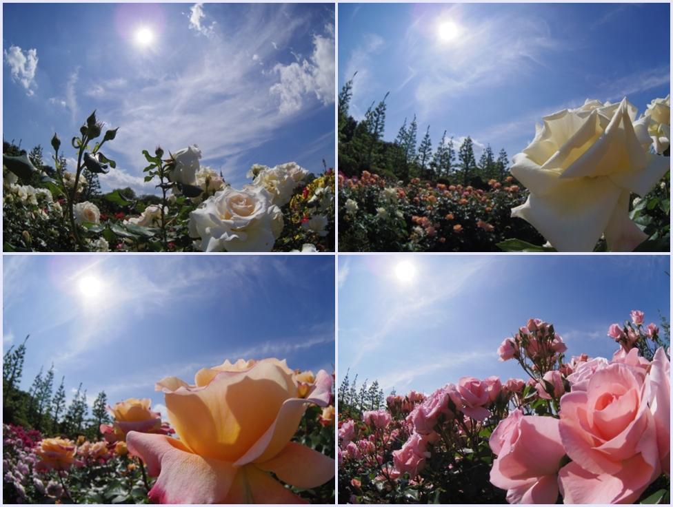 太陽を仰ぐバラ