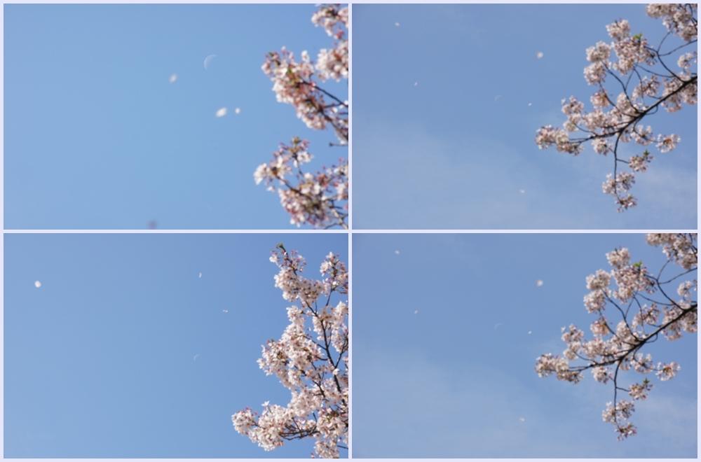 桜吹雪と月