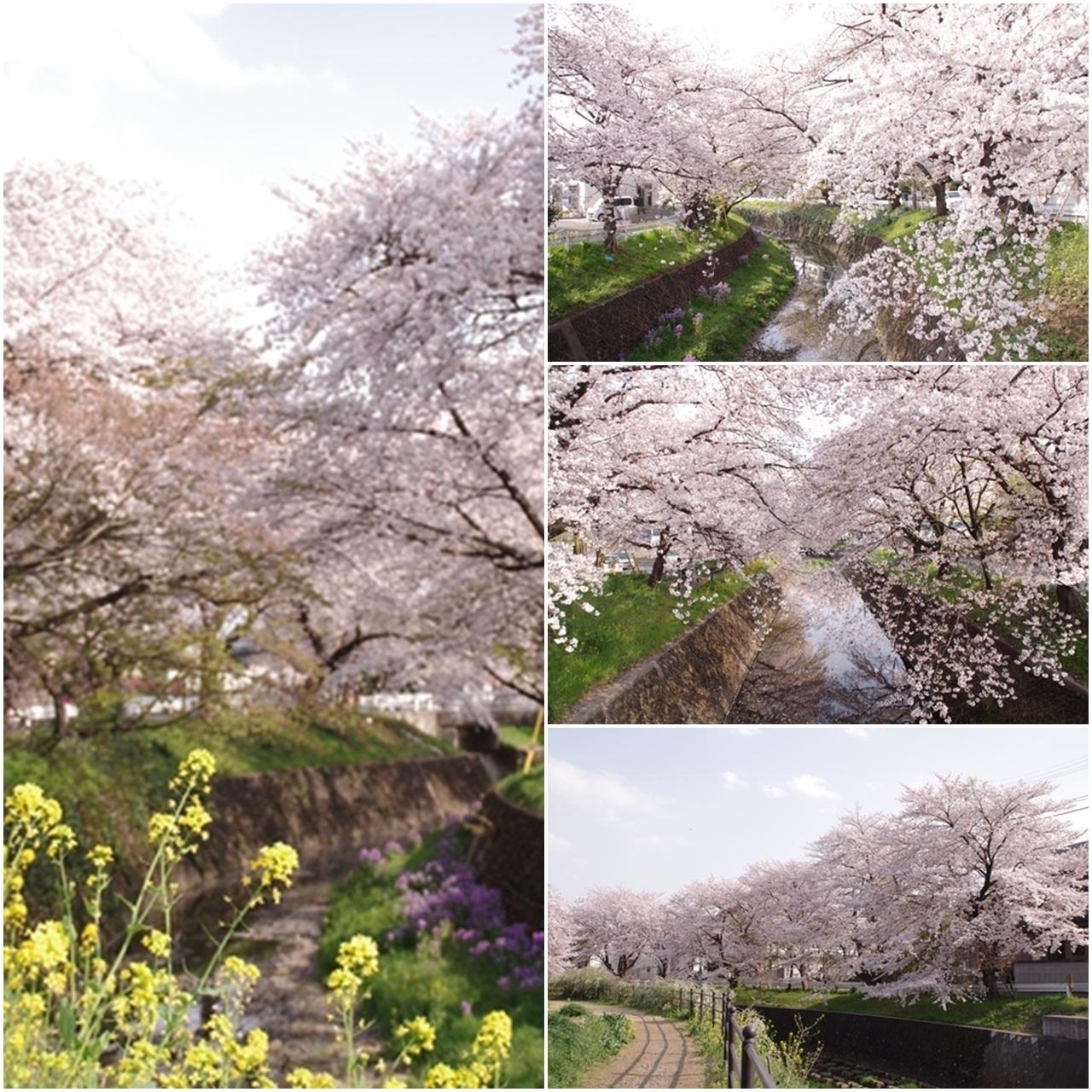 東川の桜4