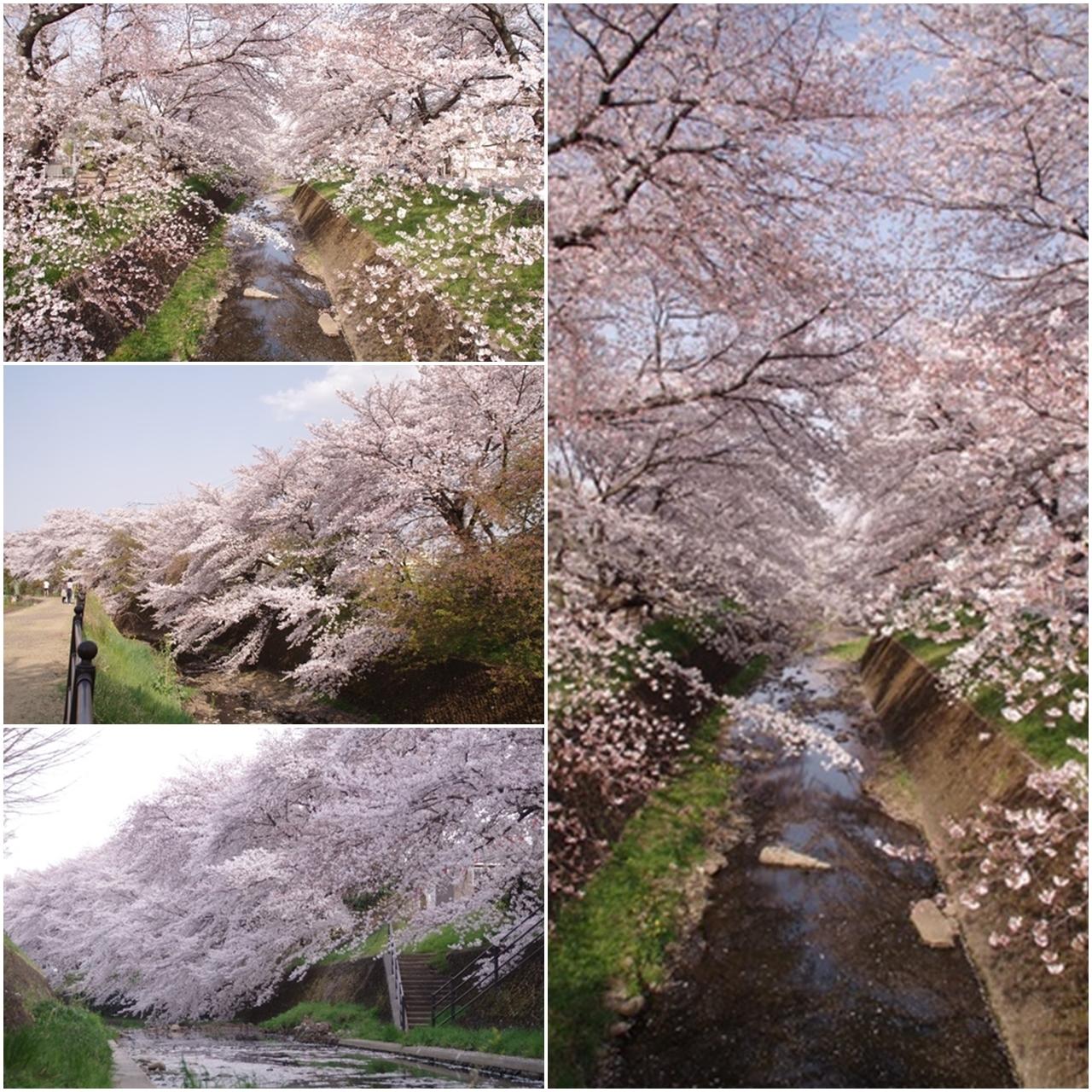 東川の桜5