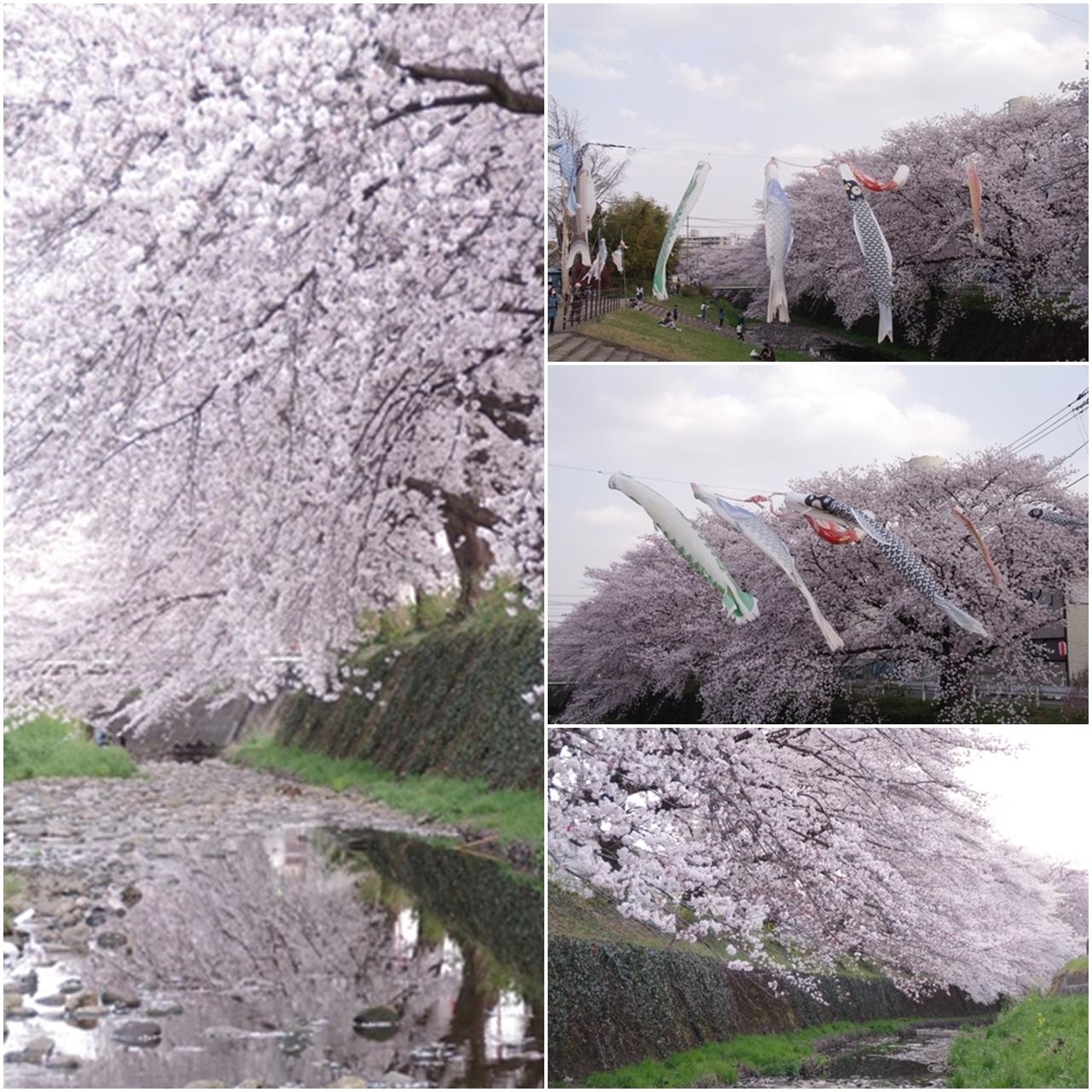 東川の桜6