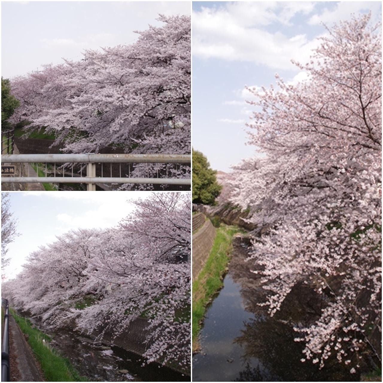 東川の桜7