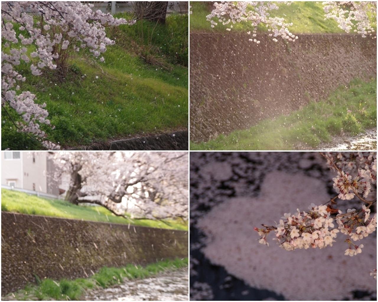東川の桜8