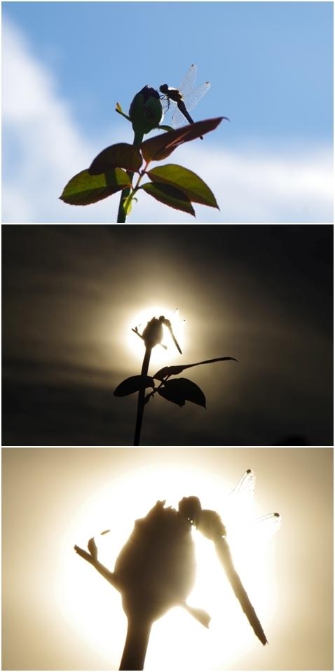 トンボと太陽