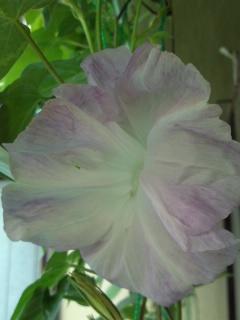 asagao20110806B.jpg