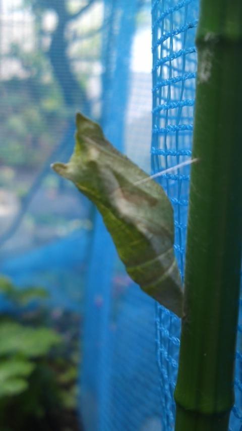 ナミアゲハのサナギ