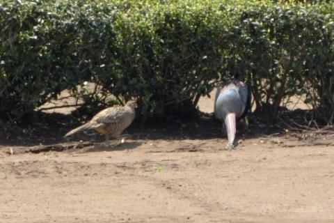 雉の雄と雌